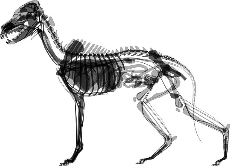 Röntgenaufnahme eines Hundes