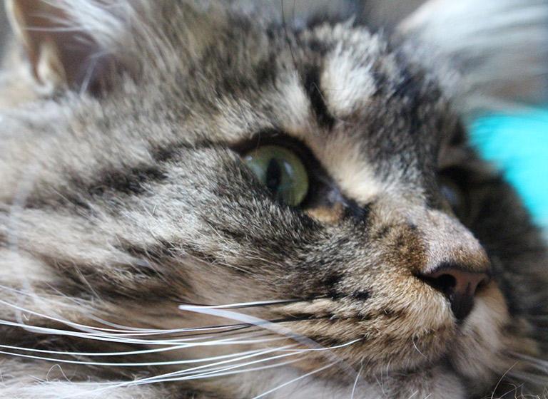 Eine Katze wird geimpft.